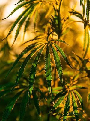 MPC Marijuana